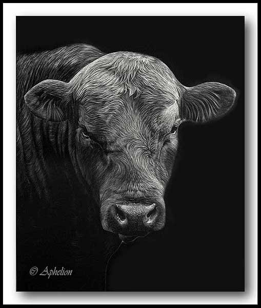 Angus Bull - Scratchboard Art