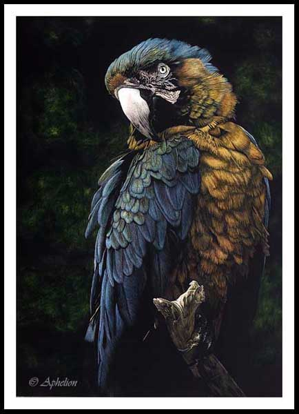 Blue And Gold - Catalina Macaw Scratchboard