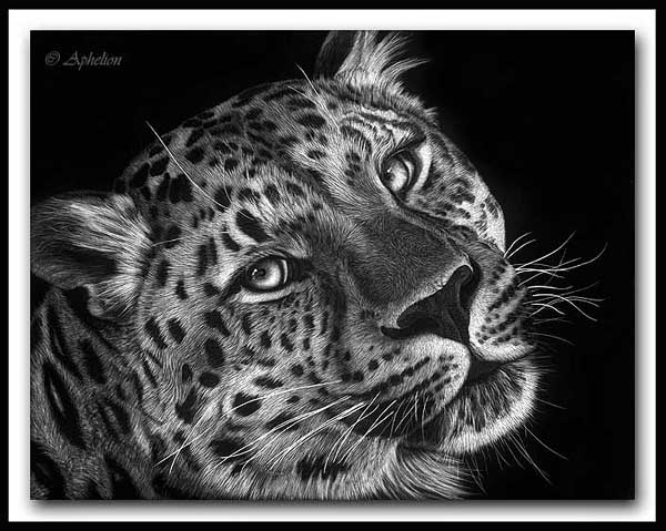 Gone In a Blink - Amur Leopard Scratchboard Art