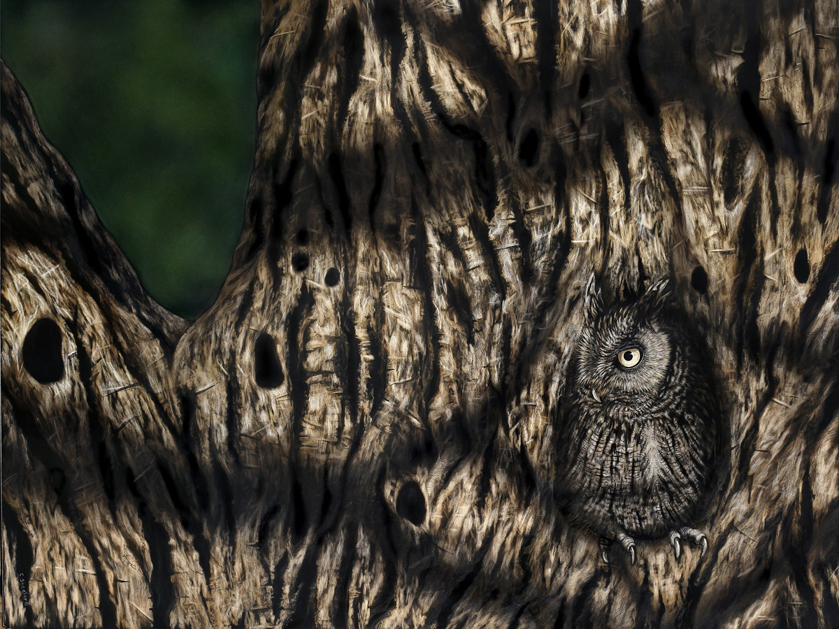 Hide and Seek - Screech Owl Scratchboard Art