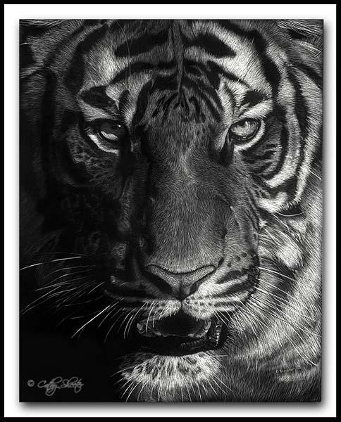 Imperial Queen - Scratchboard Tigeress