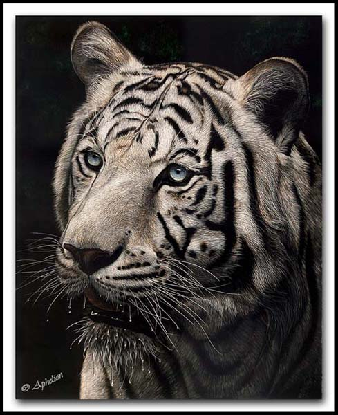 The Interrupted Drink - White Tiger Scratchboard