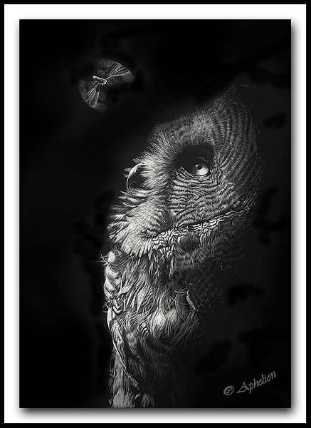 Intrigue - Great Gray Owl Moth Scratchboard