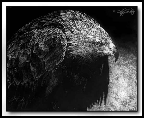 Mantling Golden Eagle - Scratchboard