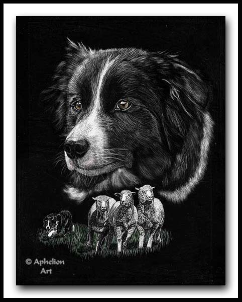 Rough And Ready - Scratchboard Border Collie