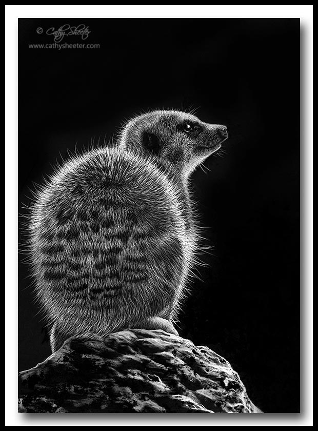 Meerkat - Scratchboard