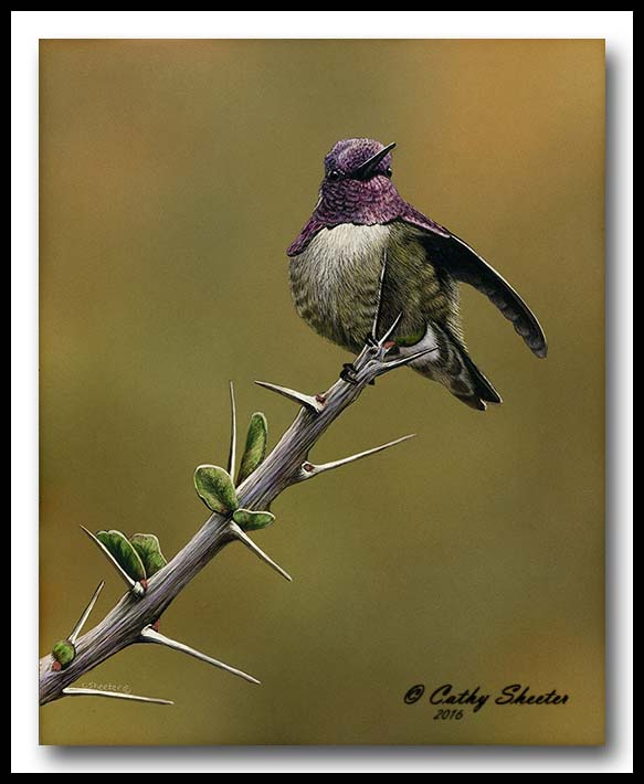 Ocotillo Outlook - Scratchboard Costa's Hummingbird