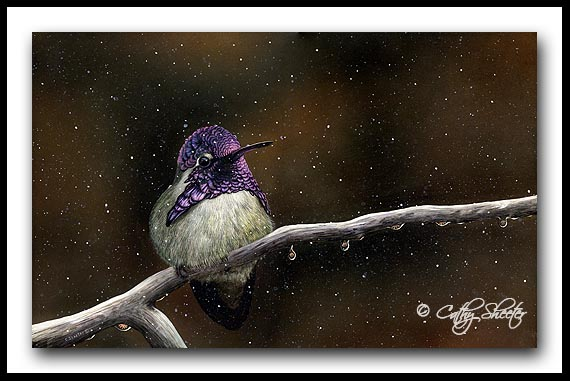 'Port In The Storm' -Costa's Hummingbird Scratchboard Art