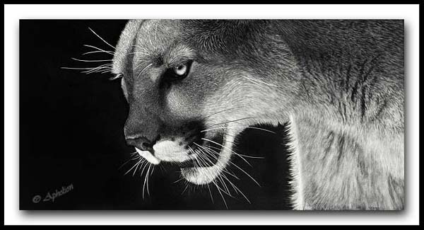 Scratchboard Mountain Lion - On The Prowl