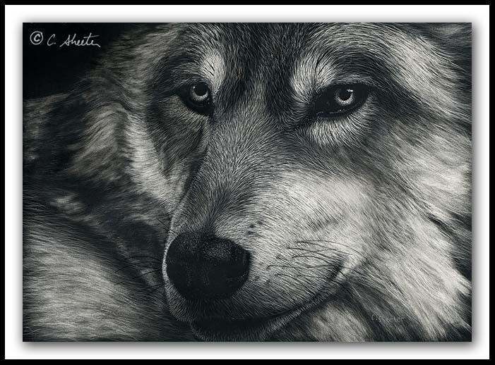 In Repose - scratchboard wolf