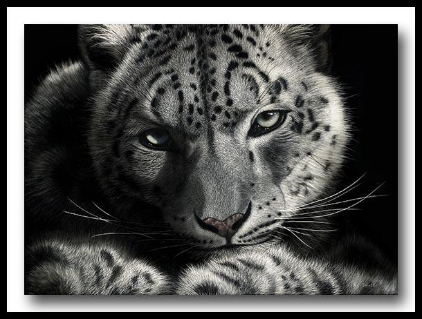 Snow Leopard - Scratchboard Art
