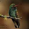 Broad-billed Hummingbird - Scratchboard