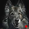 Alysse - Scratchboard and Ink Belgian Tervuren