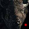 American Icon - Scratchboard and Ink Bison