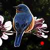 Bluebird and Blossoms - Scratchboard Art