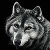 Bright Eyed - Scratchboard Gray Wolf