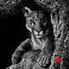 Canyon Cat - Scratchboard Art Mountain Lion