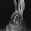 Desert Cottontail - Scratchboard