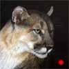 Watchful - cougar pastel