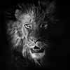 Out of the Dark II - Scratchboard Art Lion