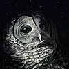By Dawns Early Light - Scratchboard Owl