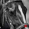 Dressed For Success - scratchboard art horse