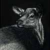 Elk Calf - Scratchboard