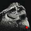 The Enlightened - Scratchboard Great Horned Owl