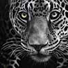 Eye Spy - Scratchboard Art Jaguar