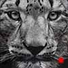 The Hypnotist - Scratchboard Art Snow Leopard