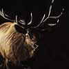 Bull Elk - Scratchboard