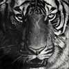 Imperial Queen - Scratchboard Art Tiger