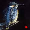 A King on His Throne - Scratchboard Art Kingfisher