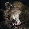 Takin' A Lickin' - Scratchboard Art Mountain Lion