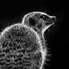 Meerkat Scratchboard Art