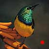 Napoleon - oil painting collared sunbird