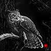 Night Patrol - Scratchboard Owl