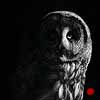 The Night Watchman - Scratchboard Art Great Gray Owl