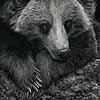 Patience Is a Virtue II - Scratchboard Grizzly Bear