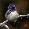 Port In The Storm - Clayboard Costa's Hummingbird