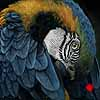 Preening Macaw - Scratchboard and Ink Art