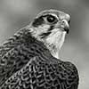 Prairie Falcon - Scratchboard