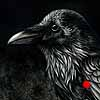 Common Raven - Scratchboard