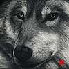In Repose - Scratchboard Art Wolf