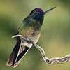Rivoli's Hummingbird - Scratchboard and Ink