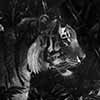 Rustle In The Brush - Scratchboard Tiger