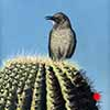 Saguaro Singer - Scratchboard and Ink
