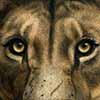 Serengeti Son - Scratchboard