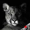 Shadow Cat' - Scratchboard Art Mountain Lion