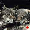 Soul Mates - Scratchboard Art Iberian Wolves